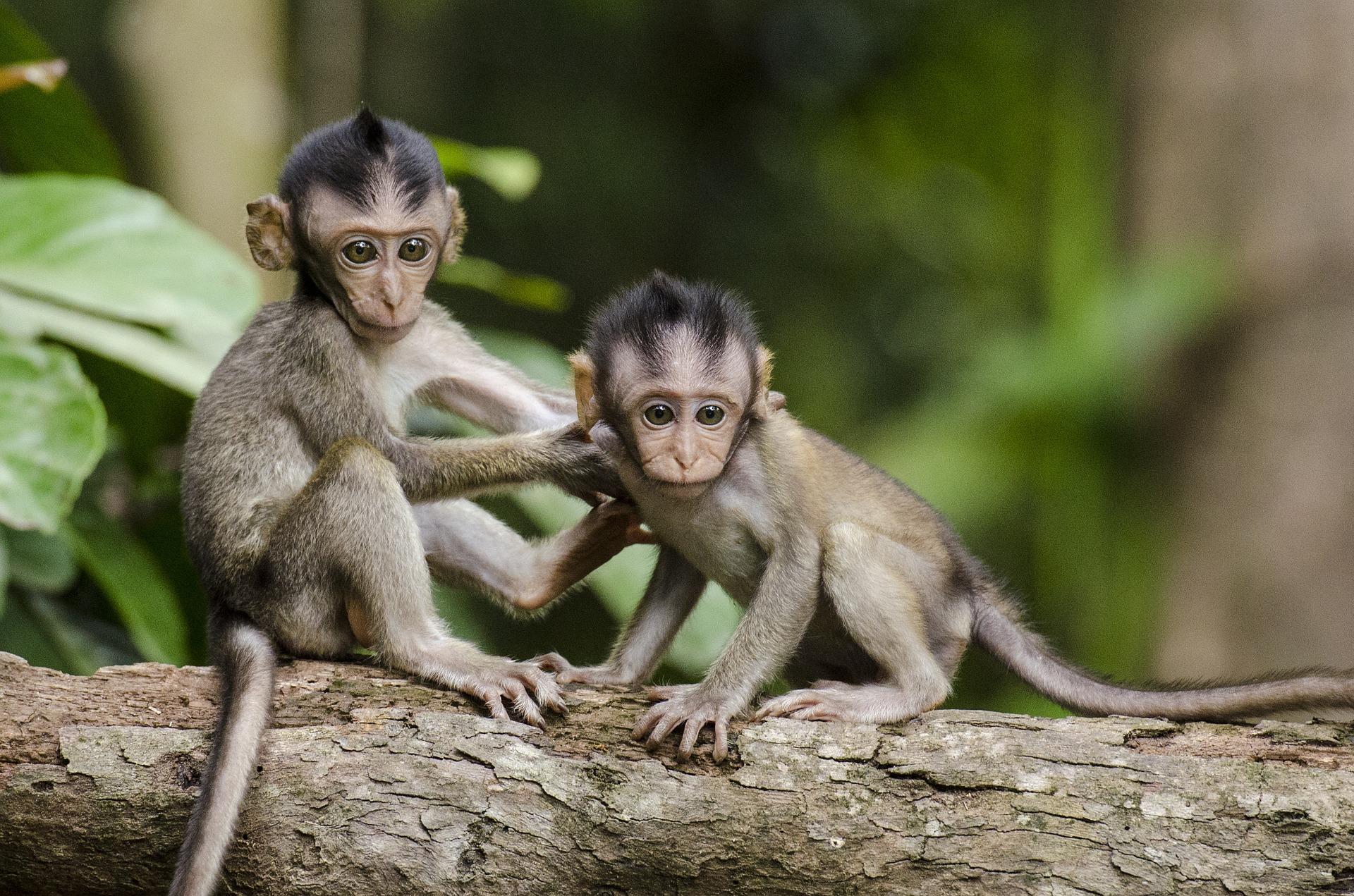 Kina klonirala genetski izmijenjenog majmuna radi istraživanja poremećaja spavanja