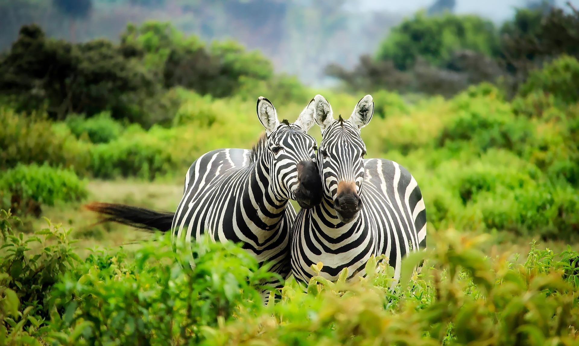 Zašto zebre imaju pruge?Zbog zaštite od muha