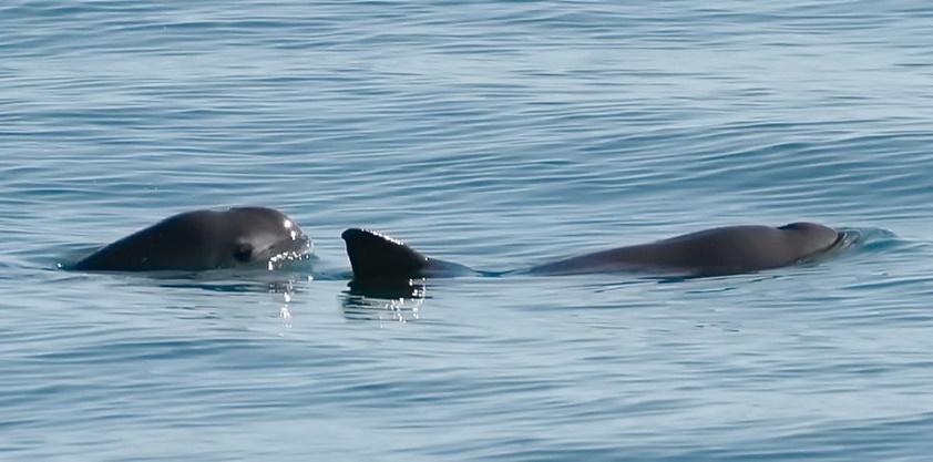 Ovih morskih sisavaca je ostalo samo 10 na svijetu