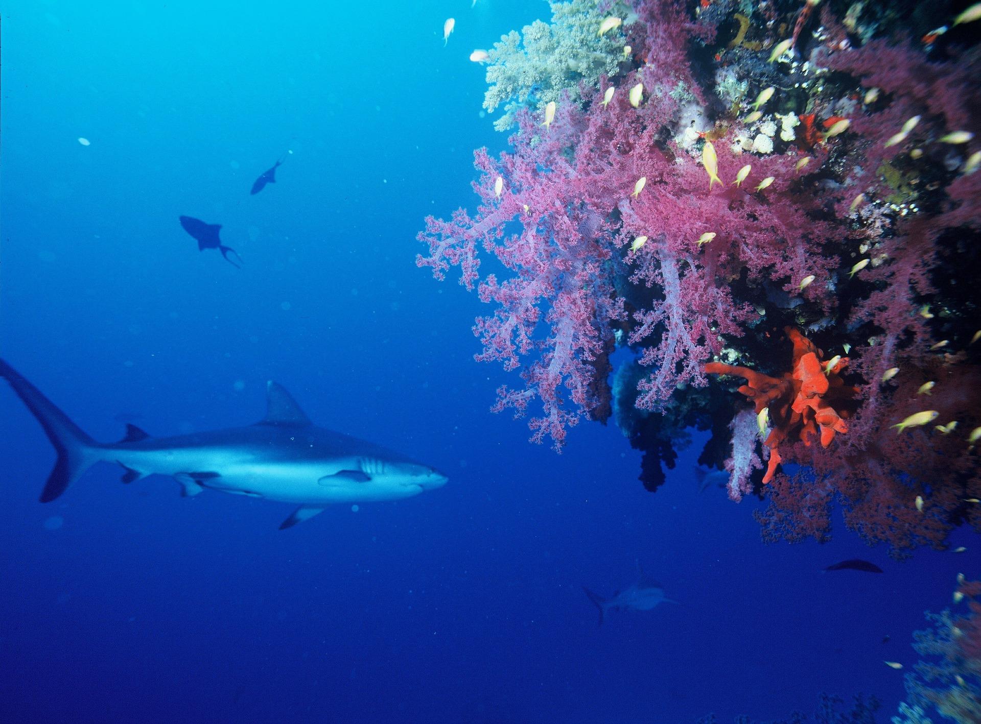 Sivih grebenskih morskih pasa sve je manje i mijenjaju ponašanje zbog ljudi