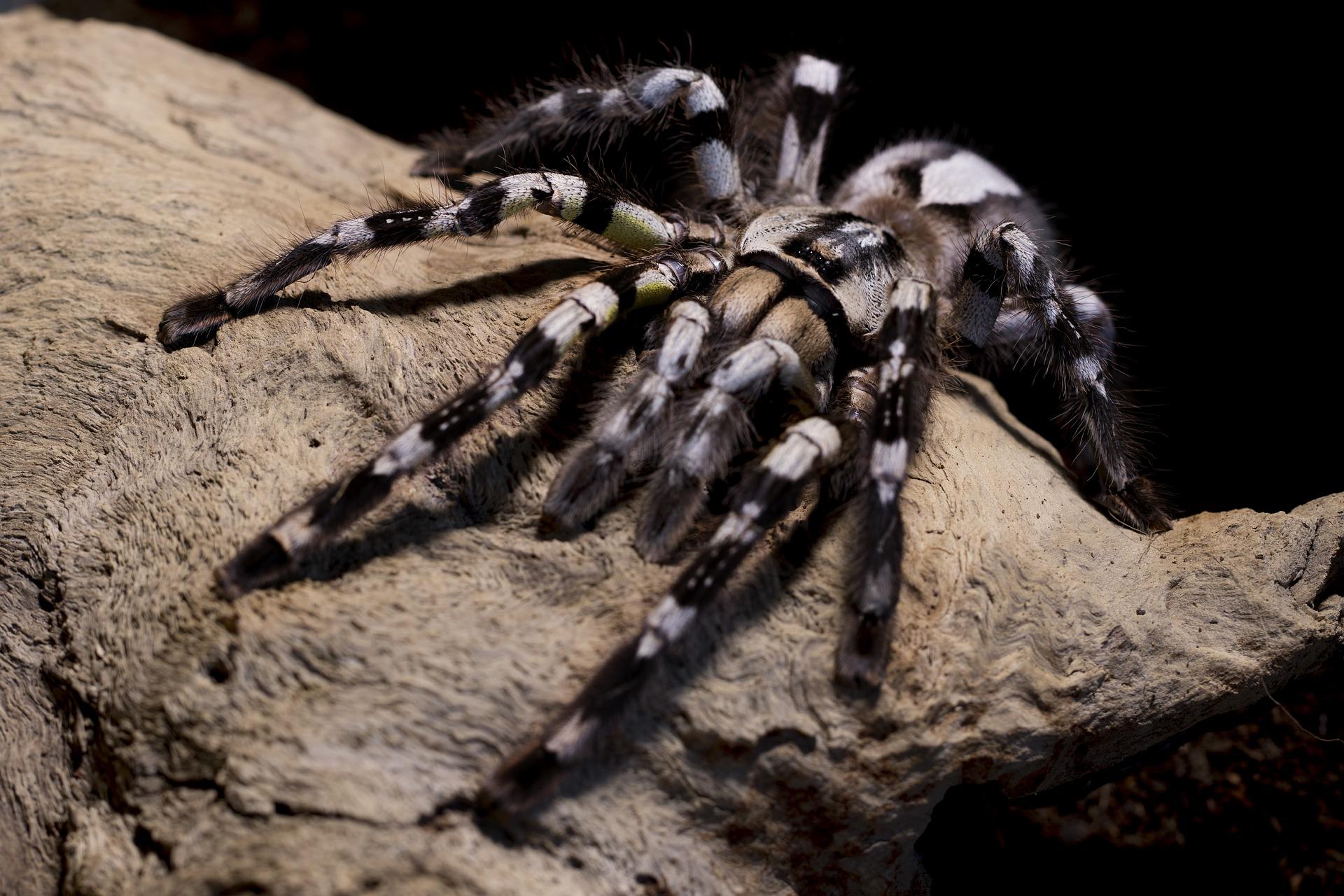 Tarantula veličine tanjura pronađena kako vuče oposuma u Amazoni