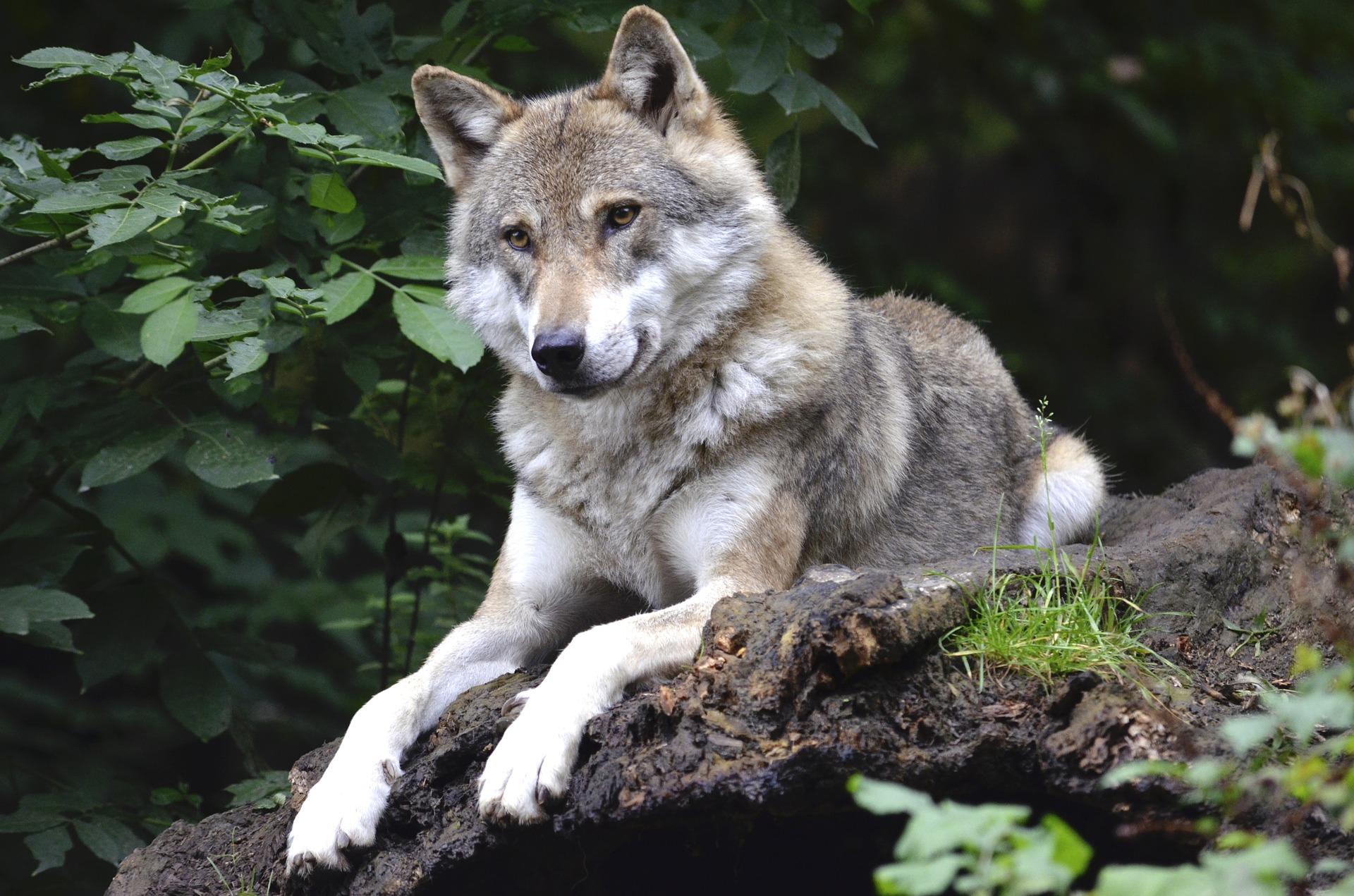 Današnji pas pripitomljen je upravo zbog vučje naravi