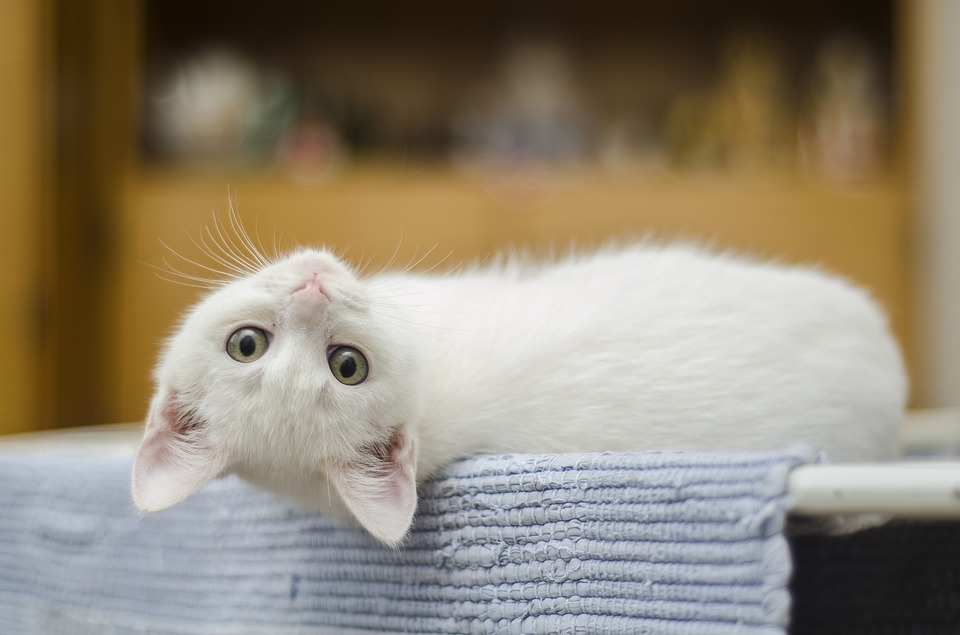 Mačke dokazano prepoznaju svoja imena