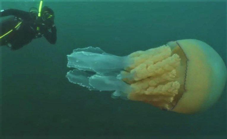 Kod Cornwalla uočena divovska meduza