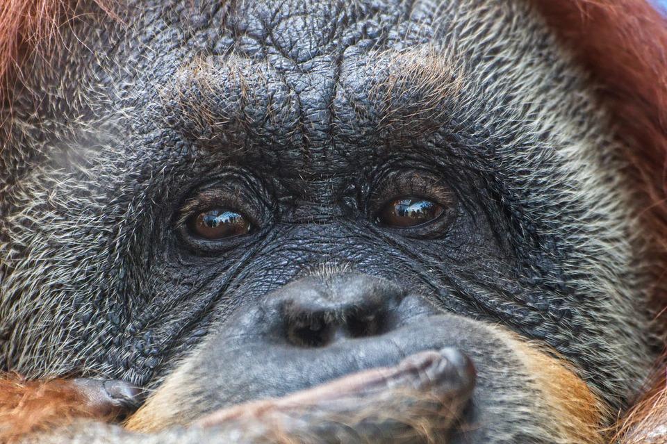 Proizvodnja palminog ulja jako šteti orangutanima