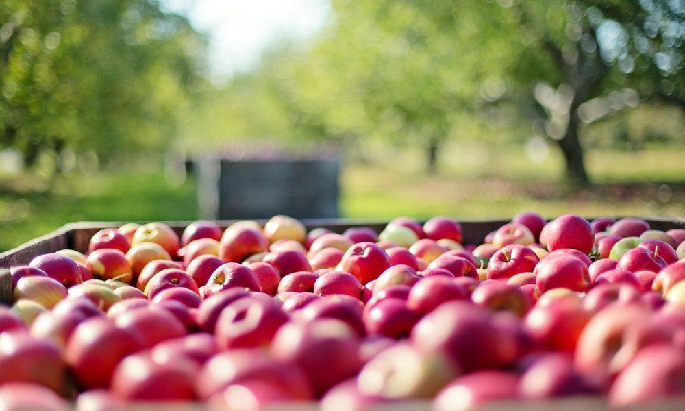 Cosmic Crisp – nova sorta jabuke u hladnjaku traje godinu dana
