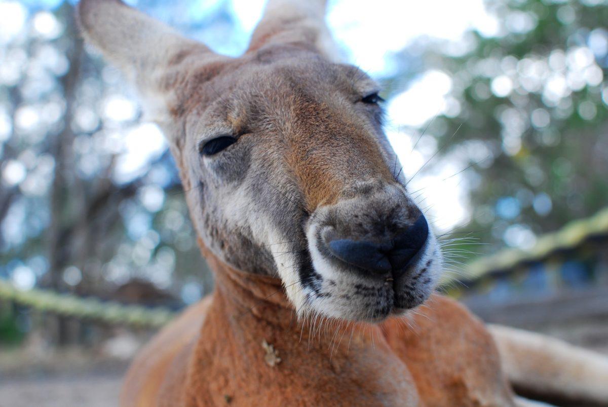 Iscrpljeni klokan hladio se u dvorišnom bazenu u Australiji