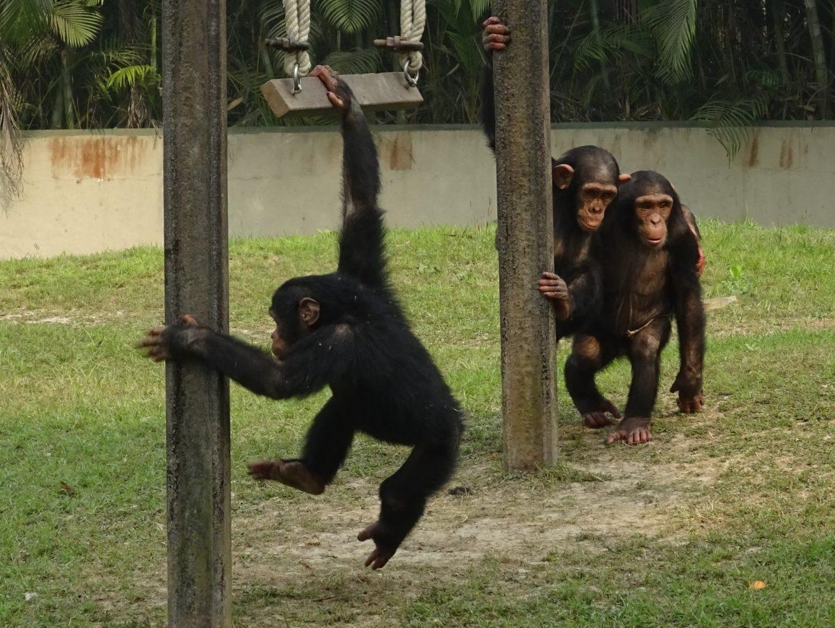 Rasplesani majmuni? Čimpanze plešu i plješću na glazbu