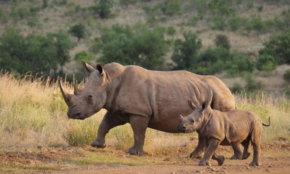 U Belgiji u zatočeništvu na svijet došao bijeli nosorog