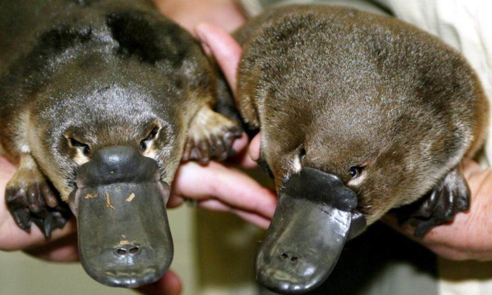 Australski čudnovati kljunaš na rubu izumiranja