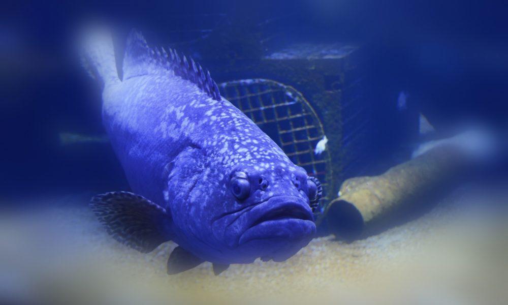 Ribari na Floridi uhvatili kirnju tešku 160 kg i staru 50 godina